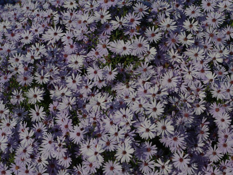 Bouwmeester-Plants-1-Aster-Little-Carlow-(op-30)
