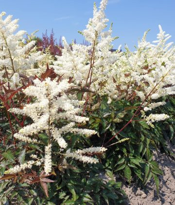 Astilbe japonica 'Queen of Holland'