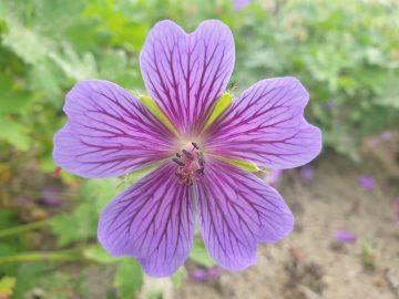 Geranium magnificum 'Rosemoor'