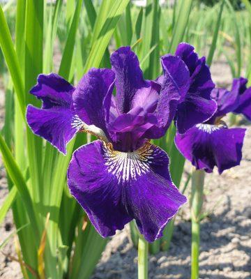 Iris sibirica 'Harpswell Velvet'