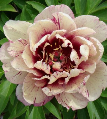 Paeonia itoh 'All That Jazz'-min