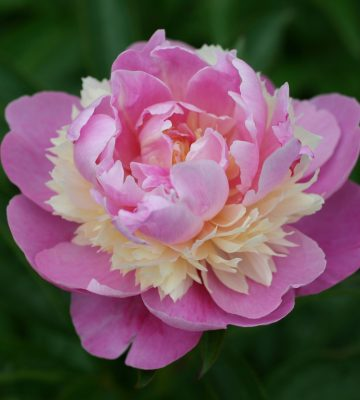Paeonia lactiflora 'Sorbet'-min