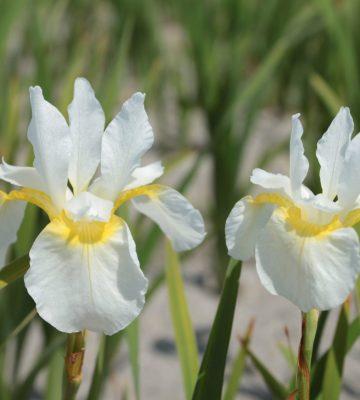 iris sibirica 'Babylon'
